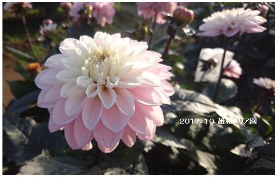 菊とダリア