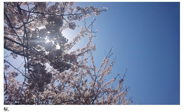 桜、さくら、サクラ、2018