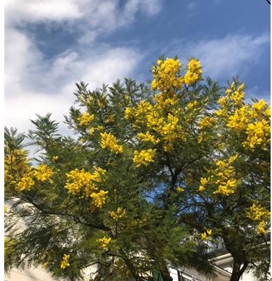 春を告げる花「ミモザ」